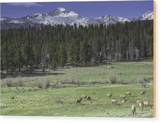 Elk Cows In Beaver Meadows Wood Print by Tom Wilbert