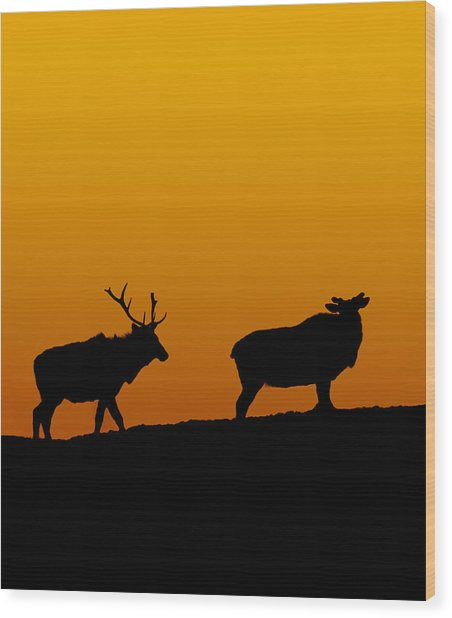 Elk In The Sunset Wood Print
