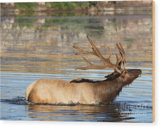 Elk Cooling Down In Lake Wood Print