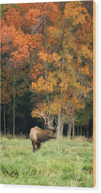 Elk With Autumn Colors Wood Print