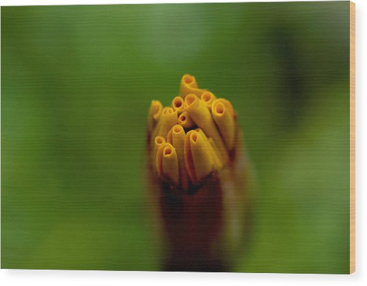 Emerging Bud - Yellow Flower Wood Print