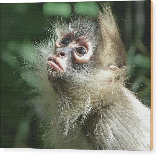 Enchanting Young Spider Monkey Wood Print