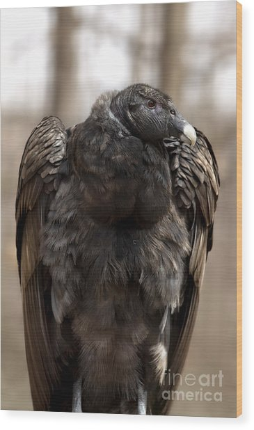 Endangered Andean Condor Wood Print
