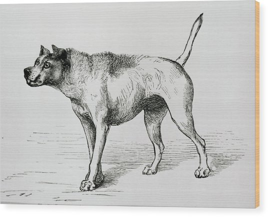 Engraving Of An Aggressive Dog Wood Print by Science Photo Library