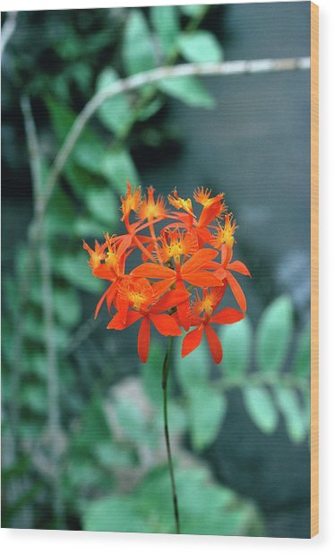 Epidendrum Ibaguense. Wood Print by Science Photo Library