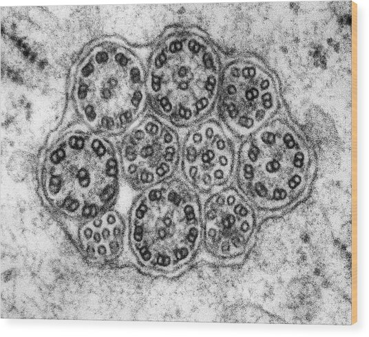 Epithelial Cilia Microtubules (cross Section) Wood Print