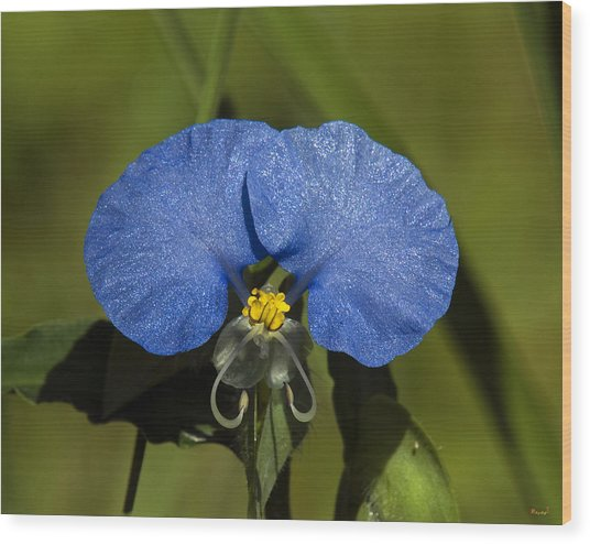 Erect Dayflower  Commelina Erecta Dsmf096 Wood Print