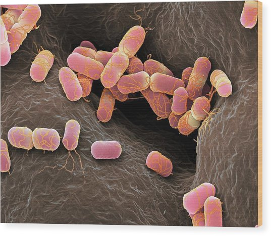 Escherichia Coli Bacteria Wood Print by Martin Oeggerli/science Photo Library