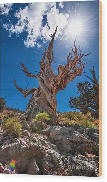 Eternity - Dramatic View Of The Ancient Bristlecone Pine Tree With Sun Burst. Wood Print