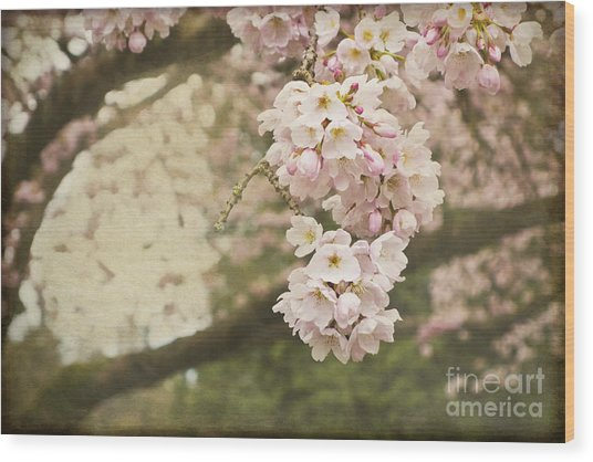 Ethereal Beauty Of Cherry Blossoms Wood Print