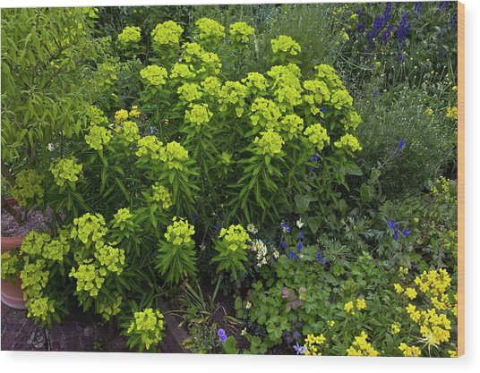Euphorbia Flowers Wood Print by Bob Gibbons/science Photo Library