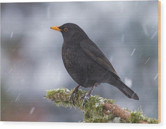 Eurasian Blackbird And Snowfall Germany Wood Print