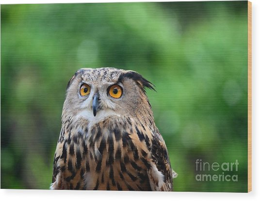 Eurasian Or European Eagle Owl Bubo Bubo Stares Intently Wood Print
