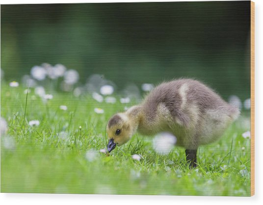 Europe, Germany, Bavaria, Canada Goose Wood Print by Westend61