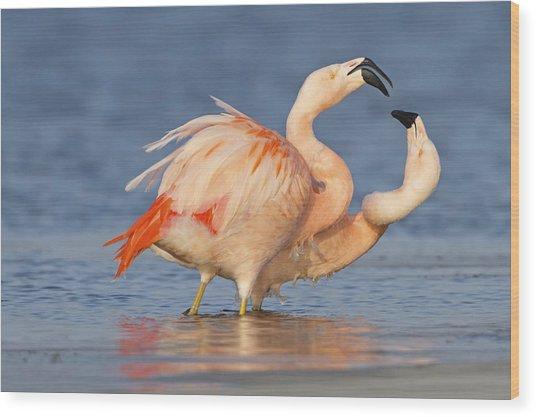 European Flamingo Pair Courting Wood Print