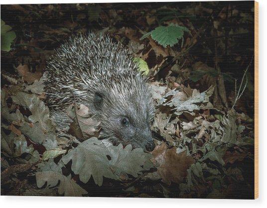 European Hedgehog At Night Wood Print