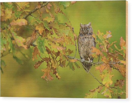 European Scops Owl Wood Print by Milan Zygmunt