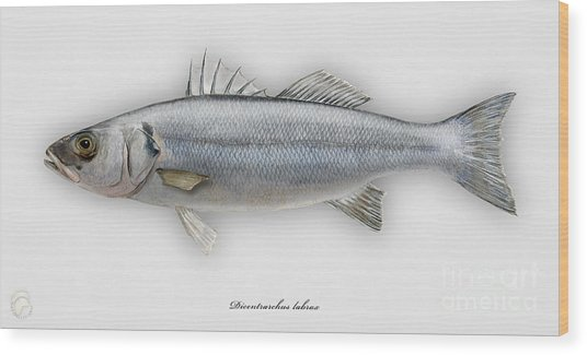 European Seabass Dicentrarchus Labrax - Bar Commun - Loup De Mer - Lubina - Havabor - Seafood Art Wood Print
