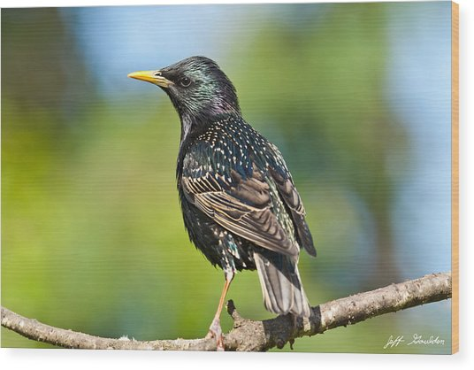 European Starling In A Tree Wood Print