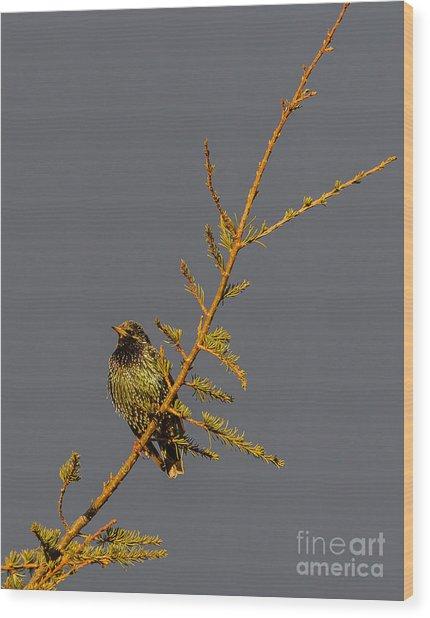 European Starling Wood Print