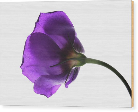 Eustoma Grandiflorum. Wood Print