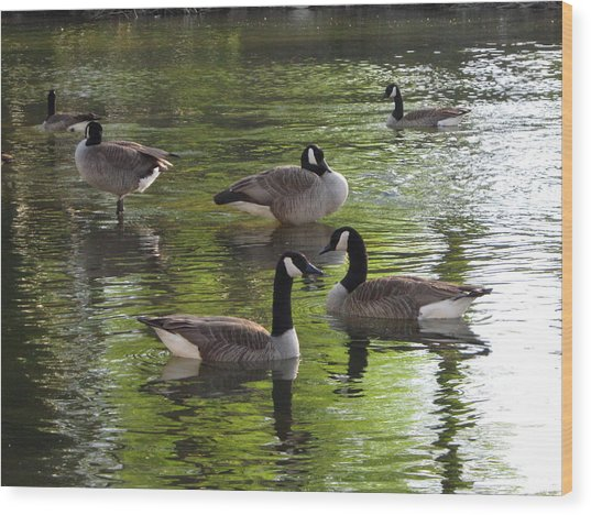 Evening Geese Gathering Wood Print