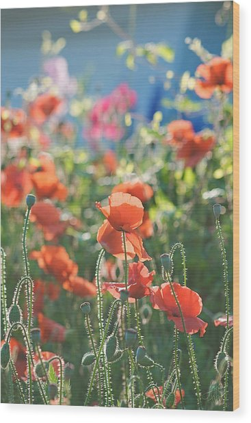 Evening Lights The Poppies Wood Print