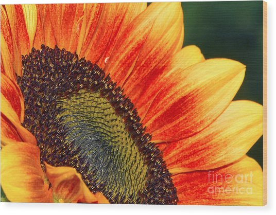 Evening Sun Sunflower Wood Print