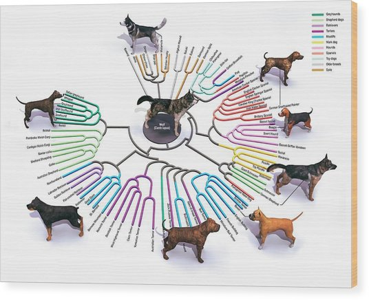 Evolution Of Dog Breeds Wood Print by Jose Antonio Penas/science Photo Library