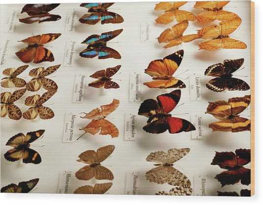 Exotic Butterfly Collection Wood Print by Mauro Fermariello/science Photo Library
