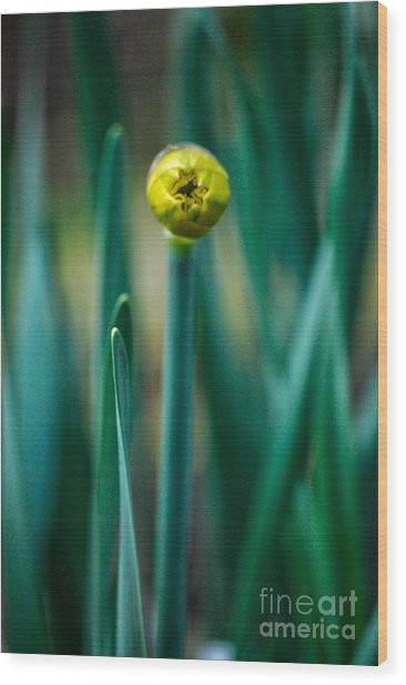 Eye Of The Daffodil Wood Print