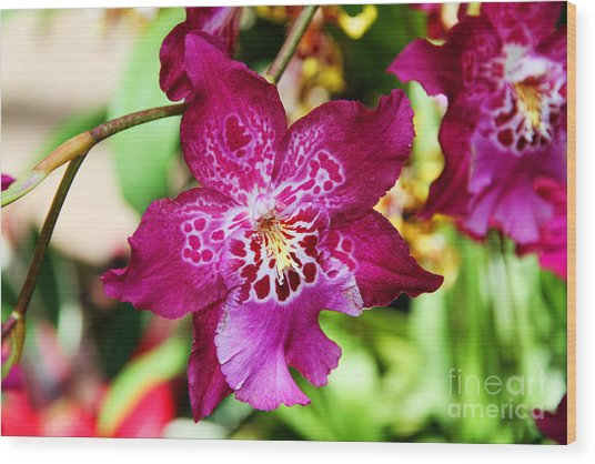 Fabulous Fushia Orchids By Diana Sainz Wood Print