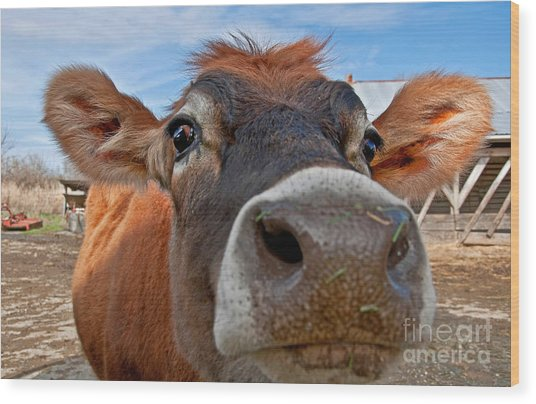 Face Of Young Jersey Cow Heifer Wood Print