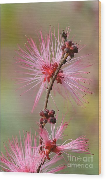 Fairy Duster Wood Print