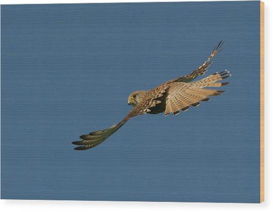 Falcon Wood Print by Torbjorn Swenelius
