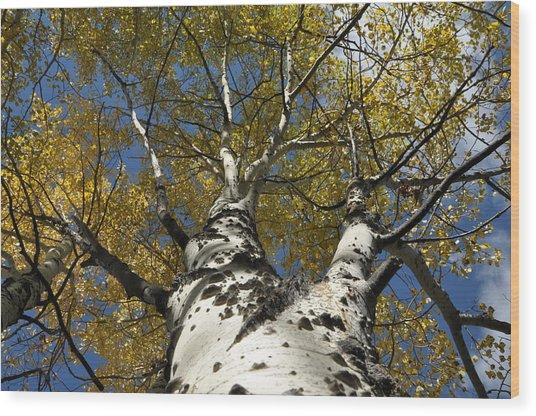 Fall Aspen Wood Print