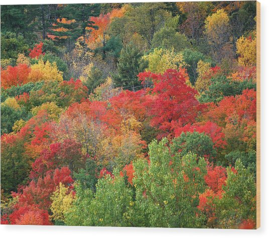 Fall Colours In Gatineau Park Quebec Wood Print