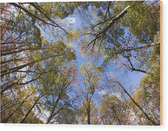 Fall Foliage - Look Up 2 Wood Print