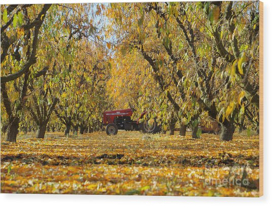 Fall In The Peach Orchard Wood Print