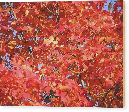 Fall Sugar Maple Wood Print