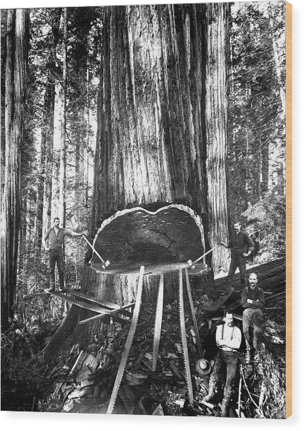 Falling A Giant Sequoia C. 1890 Wood Print