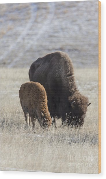 Bison Calf Having A Meal With Its Mother Wood Print