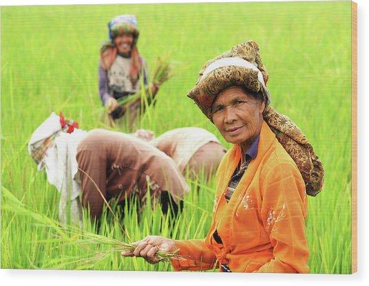 Farmers Harvesting Rice Wood Print