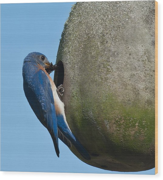 Father Blue Bird Wood Print