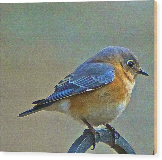 Febuary Bluebird  Wood Print by Constantine Gregory