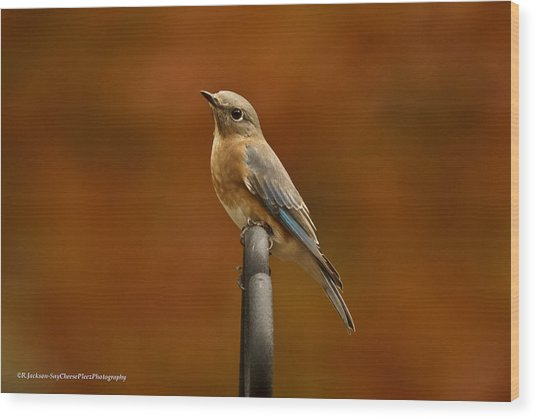 Female Bluebird Wood Print