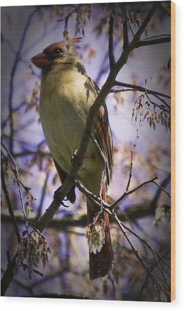 Female Cardinal Wood Print by Barry Jones