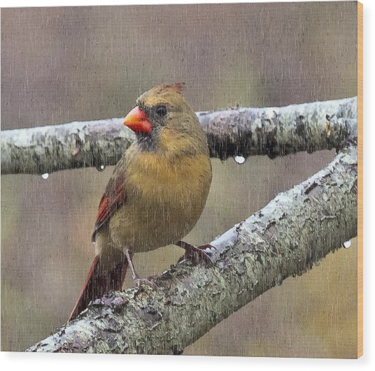 Female Cardinal Reigns In The Rain  Wood Print by Constantine Gregory