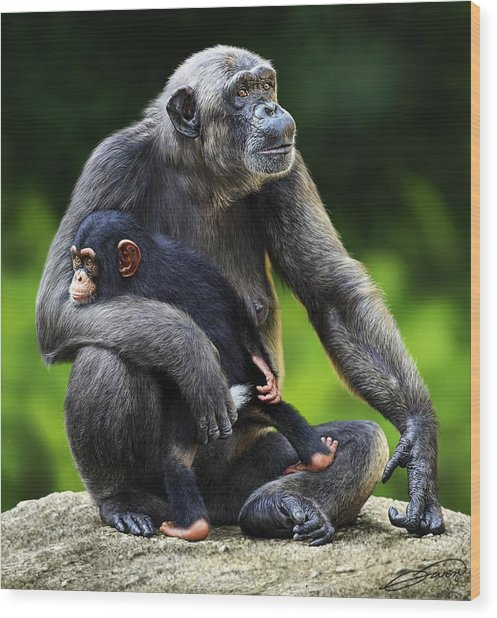 Female Chimpanzee With Young Wood Print by Owen Bell