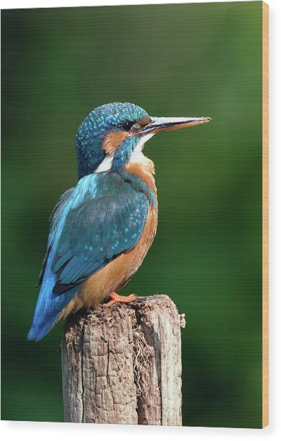Female Kingfisher Wood Print by John Devries/science Photo Library